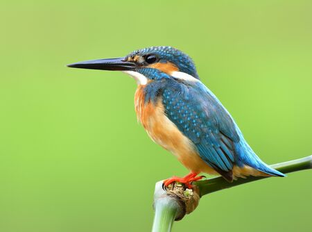 Common Kingfisher (Alcedo atthis) Beautiful turquoise blue bird sitting on the perch over fine blur green background, amazing nature
