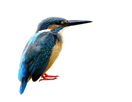 alcedo atthis: Male of Common kingfisher (Alcedo atthis) Eurasian or River kingfisher, beautiful blue bird isolated on whtie background with detail from head to toes, exotic nature Stock Photo