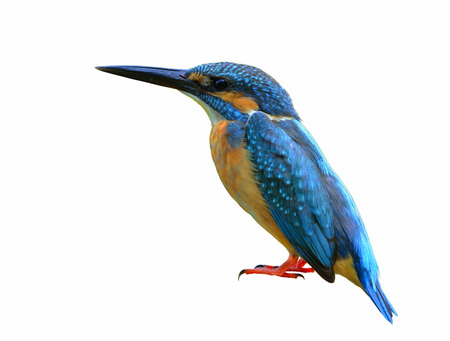 alcedo atthis: Common kingfisher (Alcedo atthis) river or kingfisher, beautiful blue bird showing its side feathers perching on pole isolated on white background, fascinating nature