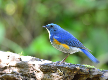 Himalayan bluetail or orange-flanked bush-robin (Tarsiger rufilatus) beautiful blue bird with yellow side feathers perching on the black wooden log, amazing nature Stock Photo