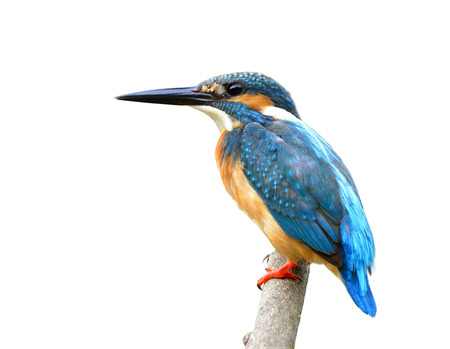 alcedo atthis: Exotic blue bird, Common Kingfisher (Alcedo atthis)  perching on a wooden stick with details and fine feathers isolated on white background