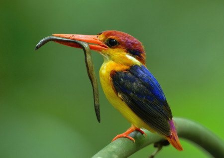 Oriental dwarf (Ceyx erithaca) or black-backed kingfisher a species of bird in the family Alcedinidae, carrying blind snake prey for its chicks in feeding moment Stock Photo