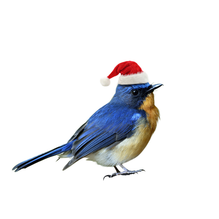 Blue bird wearing Santa Claus red hat on Christmas season greeting, happy bird isolated on white background