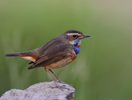 side lighting: Bluethroat (Luscinia svecica) beautiful brown bird with blue and orange color on his chest to chin perching on a dirt rock over green background in low lighting condition with side feathers profile, exotic nature