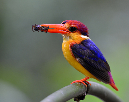 Oriental dwarf (Ceyx erithaca) or black-backed kingfisher a species of bird in the family Alcedinidae, carrying a spider prey to feed its chicks  Stock Photo