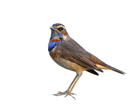 Bluethroat (Luscinia svecica) beautiful brown bird with blue and orange feathers on his chest fully standing isolated on white background, exotic nature