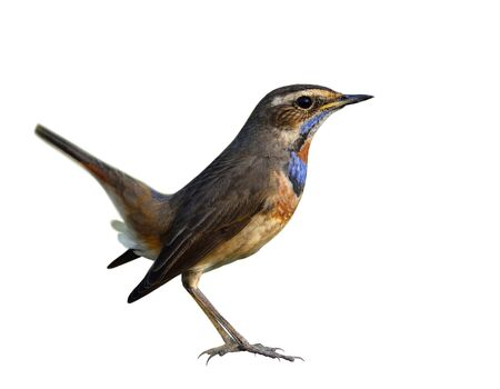 Bluethroat (Luscinia svecica) beautiful brown to grey bird fully standing with wagging tail and blue feathers on the chest to chin and orange spot isolated on white background, fascinated nature