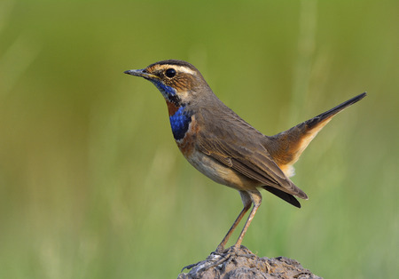 Bluethroat (Luscinia svecica) beautiful blue bird with orange spot on his chest to chin perching on a dirt rock over green background Stock Photo