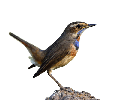 Bluethroat (Luscinia svecica) beautiful brown to grey bird with blue feathers on the chest to chin and orange spot isolated on white background, fascinated nature