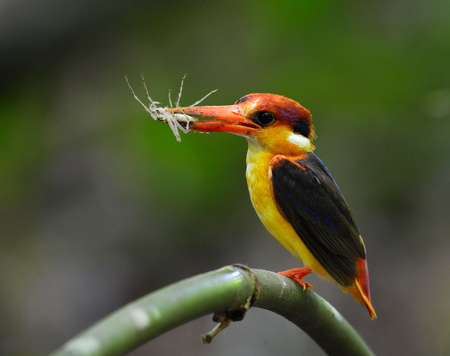 Black-backed or Oriental Dwarf kingfisher  (Ceyx erithaca) bird in the family Alcedinidae, carrying a spider prey to feed its chicks