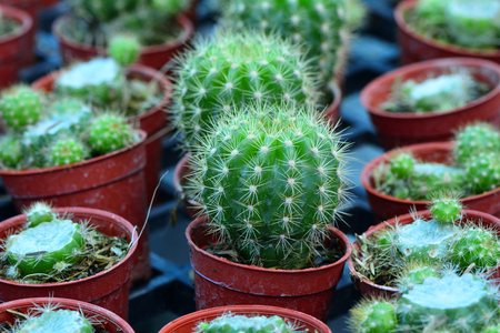 Baby cartoon cactus in flowerpots put together in the farm, torn plantation in a row