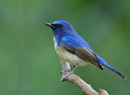 cola mujer: Hainan papamoscas azul (Cyornis hainanus) se encarama hermoso pájaro en la ramita en el fondo borroso verde fino y que muestra una iluminación suave detalla su plumas laterales de la carrocería, la naturaleza exótica