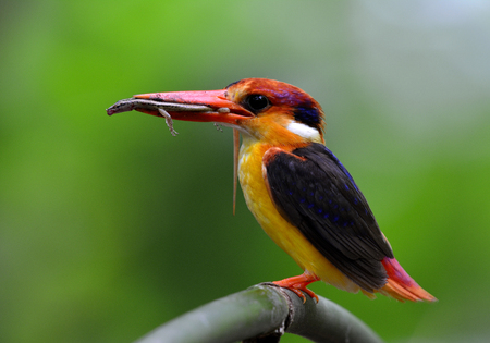 Oriental dwarf (Ceyx erithaca) or black-backed kingfisher a species of bird in the family Alcedinidae, carrying a small lizard prey for its chicks during feeding days