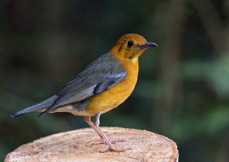 Close up of Orange-headed thrush (Geokichla citrina) beautiful orange bird standing on the cut log detais from foot to head, amazing nature