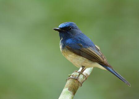 Little blue bird perching on the stick in nature, Hainan blue flycatcher (Cyornis hainanus) Stock Photo
