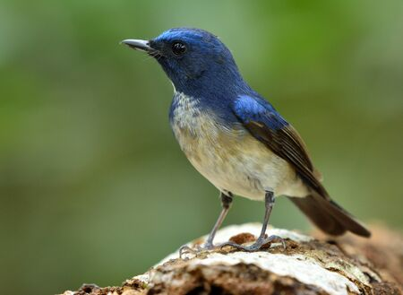 Hainan blue flycatcher (Cyornis hainanus) beautiful bird perching on log showing chest details feathers, exotic nature