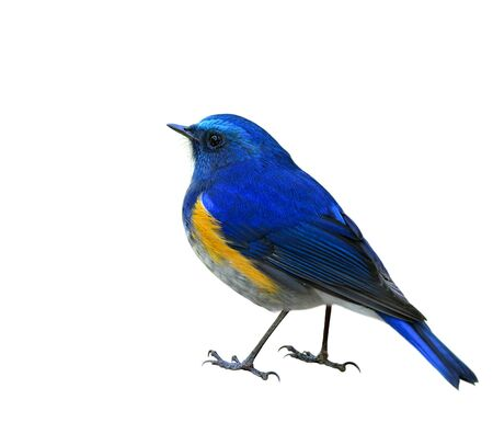 Himalayan bluetail or Orange-flanked Bush-robin (Tarsiger rufilatus) beautiful blue blue bird fully standing back feathers view isolated on white background, fascinated creature Stock Photo