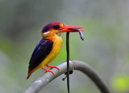 Oriental dwarf (Ceyx erithaca) or black-backed kingfisher a species of bird in the family Alcedinidae, carrying blind snake prey for its chicks during feeding days