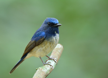 fascinate: Beautiful blue bird perching on the stick over fine green background in nature, Hainan blue flycatcher (Cyornis hainanus) Stock Photo