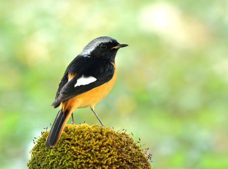 Mâle de Daurian Redstart (Phoenicurus auroreus) magnifique passereau oiseau avec ventre orange et argent tête perçant sur un sol moussu montrant de belles plumes arrière, nature exotique
