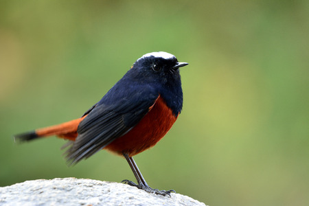 White-capped Water Redstart or River chat (phoenicurus leucocephalus) beautiful black and red bird with white head perching on the rock in the stream over green blur background, fascinated nature