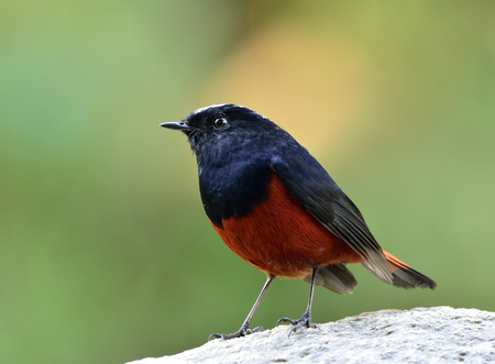 fascinate: White-capped Water Redstart or River chat (phoenicurus leucocephalus) beautiful chubby black and red bird with white head smartly perching on the rock in stream over green blur background, fascinated nature Stock Photo