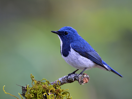 Ultramarine Flycatcher (Superciliaris ficedula) lovely blue bird perching on top mossy branch over far blur green background in soft morning lighting, amazing nature Stock Photo