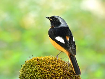 Homme de Rougequeue aurore (Phoenicurus auroreus) belle oiseau passereau avec le ventre orange et la tête d'argent percing sur le sol moussu arrière montrant des plumes