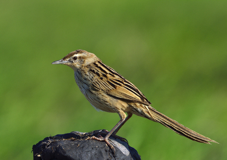 striated: Striated Grassbird (Megalurus palustris) beautiful brown bird with long tail perching on dirt pole over green background, exotic creature Stock Photo