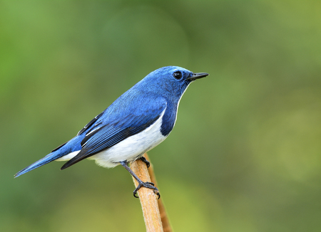 fascinate: Ultamarine Flycatcher (superciliaris ficedula) a beautiful blue  bird perching on the pile branch over far green background in the nature, fascinated creature