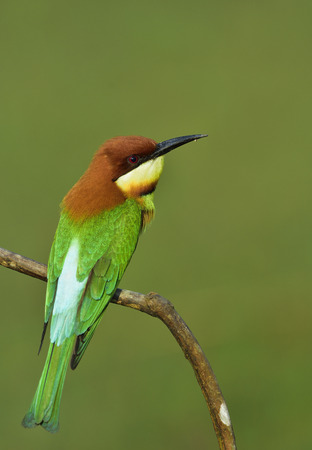 Chestnut-headed Bee-eater (Merops leschenaulti) beautiful green birds with brown head perching on wooden stick over blur green background showing its fine back feathers, exotic nature