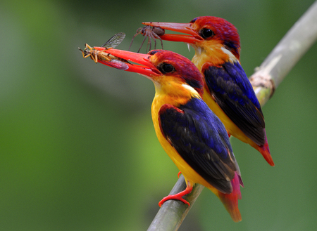 blue fish: Oriental dwarf kingfisher (Ceyx erithaca) or Black-backed kingfisher, a beautiful tiny orange bird with dark wings carrying spider and insect prey in their mouth perching on a bamboo branch waiting to feed chicks in the hole nest Stock Photo
