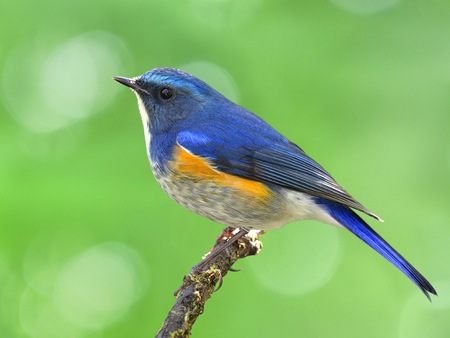 Male of Himalayan bluetail or orange-flanked bush-robin (Tarsiger rufilatus) beautiful blue bird with orange side feathers perching on the stick, exotic nature
