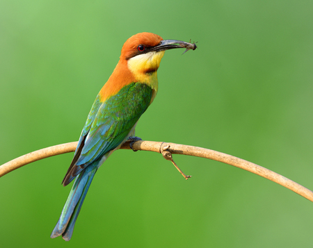 white headed: Chestnut-headed bee-eater (Merops leschenaulti) a brightly colorful bird perching on the branch over bur green background, magnificent nature