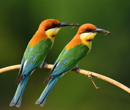 white headed: Pair of Chestnut-headed Bee-eater (merops leschenaulti) beautiful orange head and green wing birds perching on the branch picking bee in theirs bills to feed chicks in the hole nest, exotic nature Stock Photo