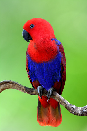Beautiful Red Eclectus parrot perching on the branch over green blur gackground, fascinated nature