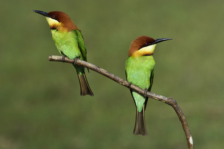 Pair of Chestnut-headed Bee-eater (Merops leschenaulti) beautiful green bird with brown head perching on wooden stick over blur green background in strong sunlight, exotic nature