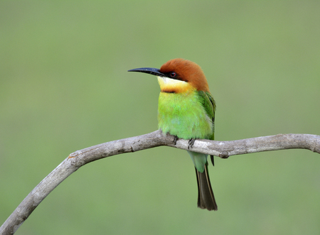 white headed: Chestnut-headed bee-eater (Merops leschenaulti) beautiful green bird with orange head lonely perching on the branch over bur background, fascinated nature Stock Photo