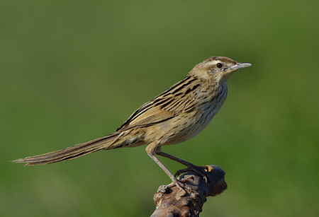 Striated Grassbird (Megalurus palustris) brown bird with very long tail perching on the branch over green background, exotic creature