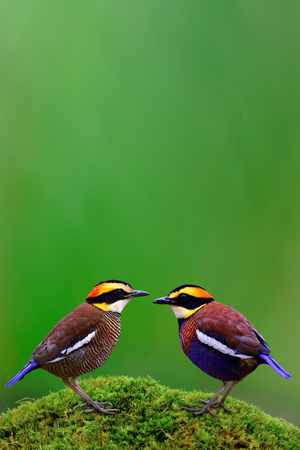 Beautiful pair of Malayan Banded Pitta (Hydrornis guajana) beautiful multiple color birds in Thailand and south east asia setting in romantic moment, amazing nature