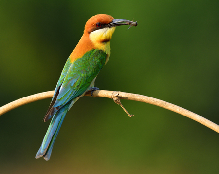 pollitos: Chestnut-headed Bee-eater (merops leschenaulti) beautiful orange head and green wings bird picking bee in its bills to feed the chicks in the hole nest, exotic nature Foto de archivo