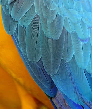 fascinate: Exotic yellow and blue background of Blue-and-Gold Macaw parrot bird feathers, beautiful texture