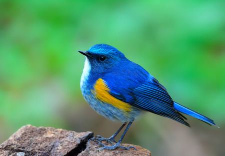 Himalayan bluetail or orange-flanked bush-robin (Tarsiger rufilatus) beautiful chubby blue bird straitly standing on the rock showing its side feathers over fine blur green background in early morning lighting, exotic nature
