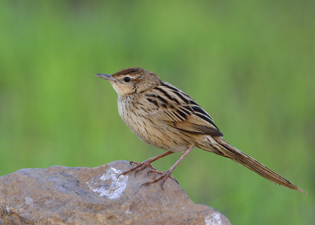 striated: Striated Grassbird (Megalurus palustris) beautiful stripe brown bird with long tail perching on dirt pole over green background, exotic creature