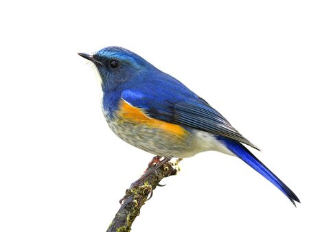Himalayan bluetail or orange-flanked bush-robin (Tarsiger rufilatus) beautiful blue bird with orange side feathers perching on the branch isolated on white background, exotic nature Stock Photo