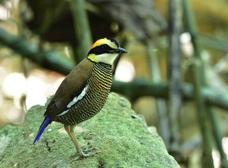 Female of Malayan Banded Pitta (Hydrornis guajana) standing on mossy wooden ground beside bamboo trees, bird living environment