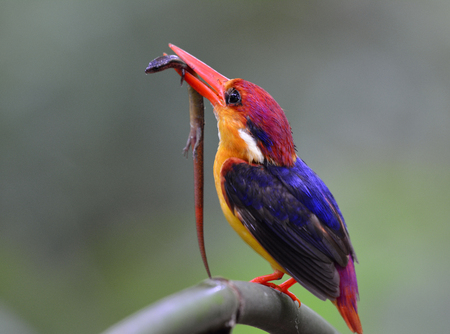fascinate: Oriental dwarf (Ceyx erithaca) or black-backed kingfisher a species of bird in the family Alcedinidae, carrying a long tail lizard prey to feed its chicks