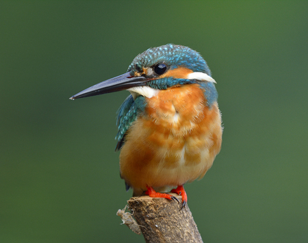 Beautiful blue bird with details of brown chest feathers, Common Kingfisher (Alcedo atthis) perching on the pole in fine morning lighting over blur green background Stock Photo
