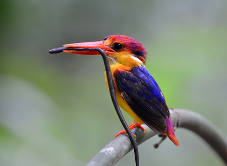 Oriental dwarf (Ceyx erithaca) or black-backed kingfisher a species of bird in the family Alcedinidae, carrying a long blind snake prey for its chicks during feeding days