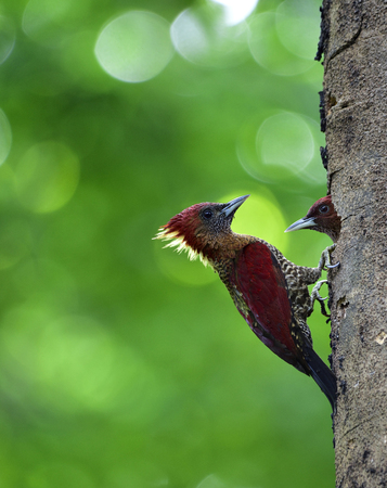 Banded woodpecker (Chrysophlegma miniaceum) beautiful maroon bird perching on wooden hole taking care of her chick in nest, exotic nature Stock Photo